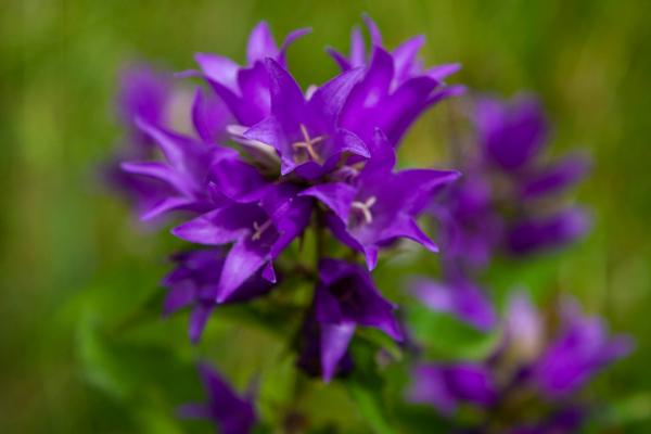 Yumak çiçekli çançiçeği