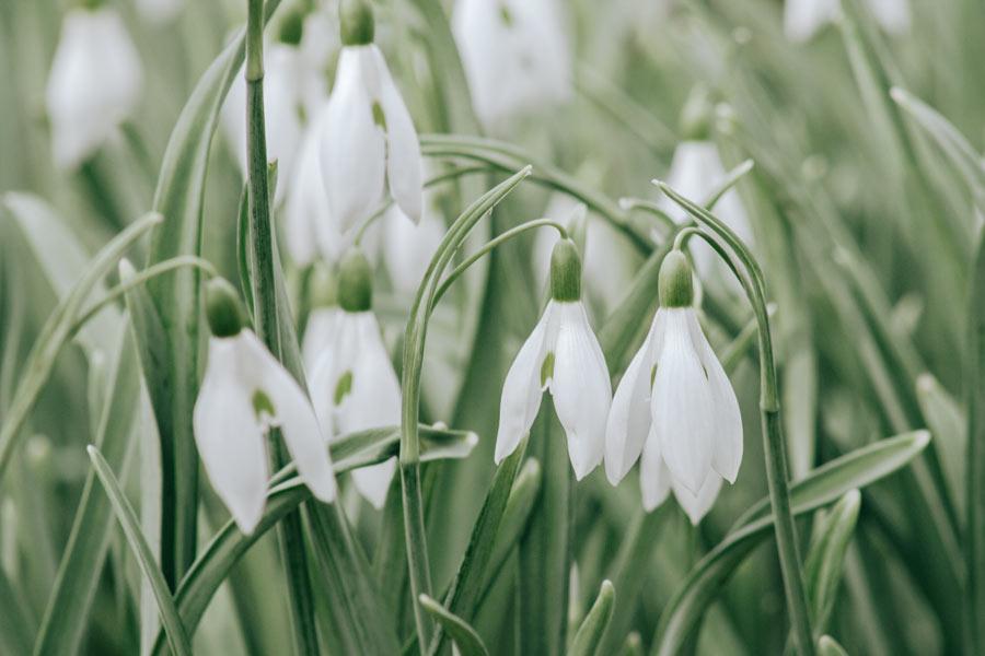 Kışın açan çiçekler - Kardelen
