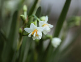 kışın açan çiçekler - nergis