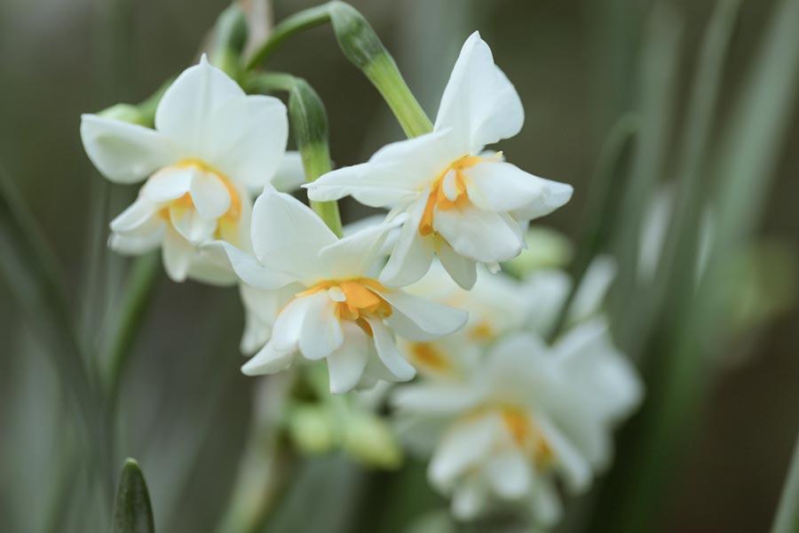 Kış çiçekleri Nergis