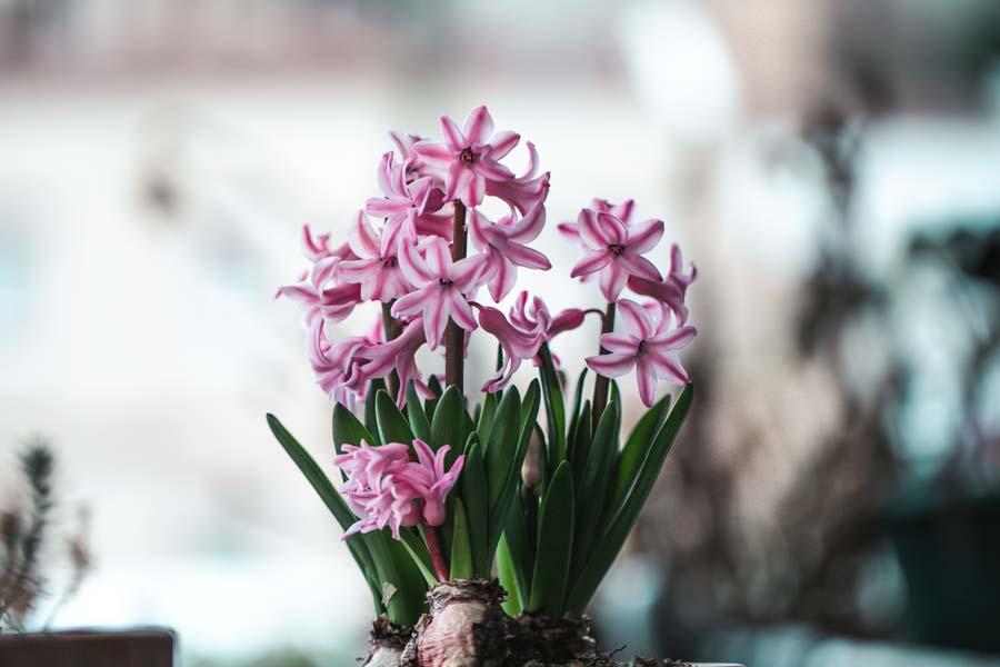 Kış çiçekleri